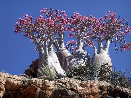 amazing-tree-in-yemen