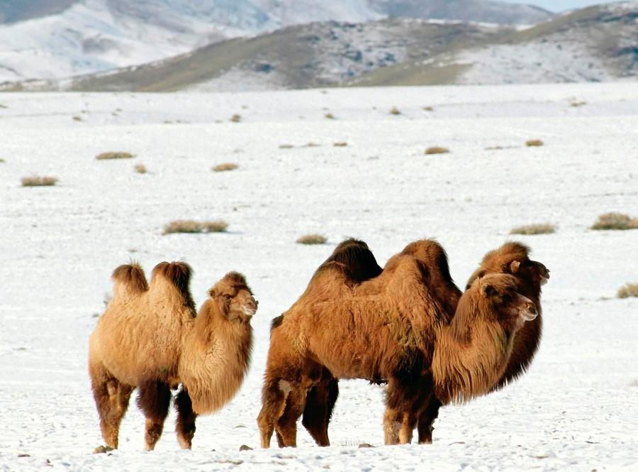Пояс верблюжий 1