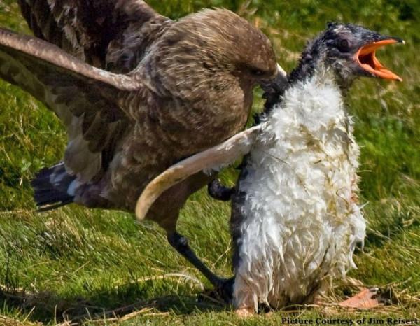 pingvini003