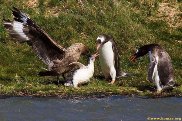 pingvini005