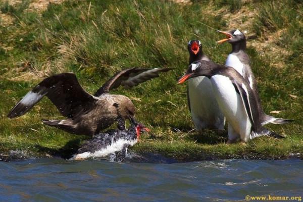 pingvini009
