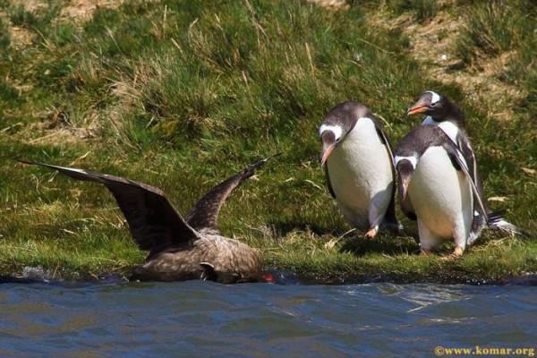 pingvini010