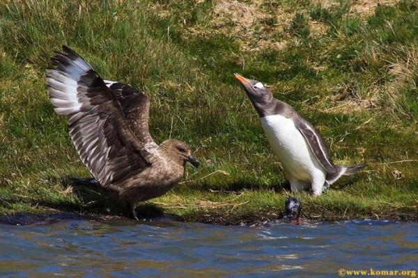 pingvini011
