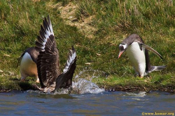 pingvini012