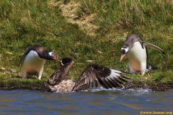 pingvini013