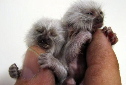 finger_monkeys_06