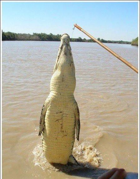 krokodil003