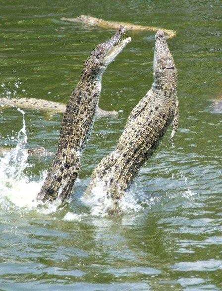 krokodil013