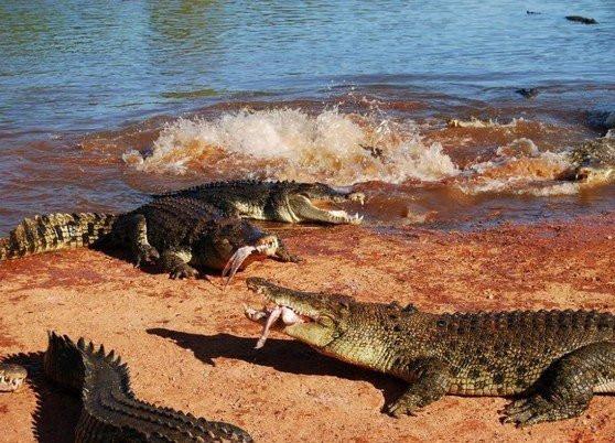 krokodil019