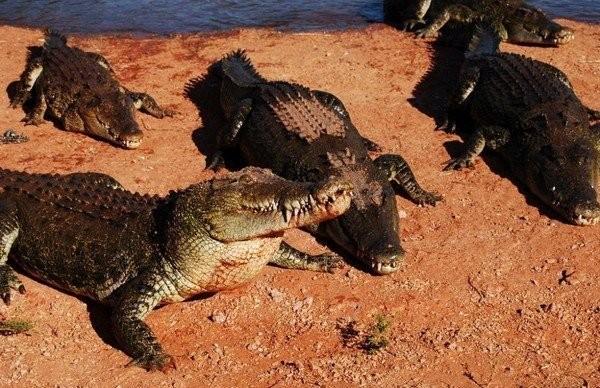 krokodil020