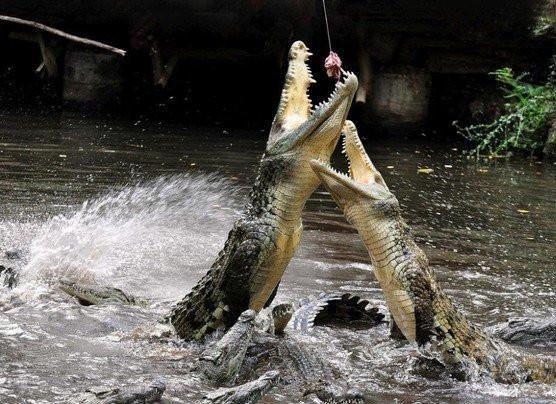 krokodil025