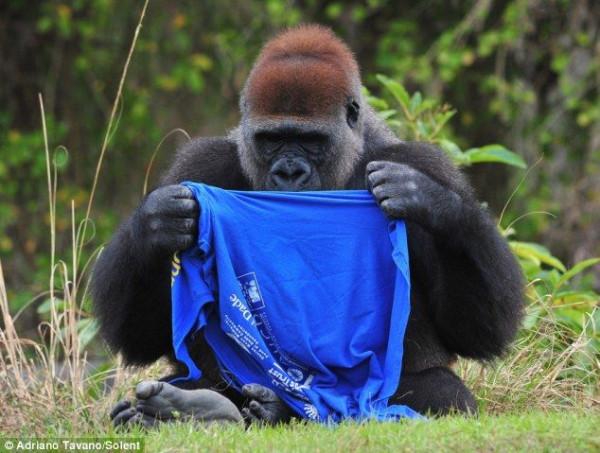 Gorilla_01