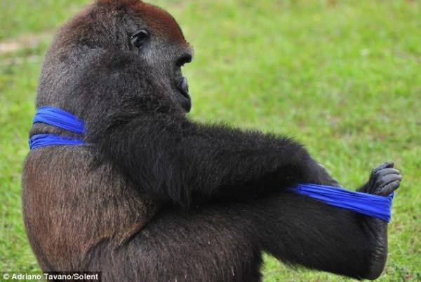Gorilla_05