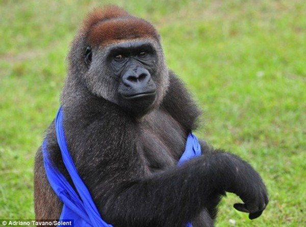 Gorilla_07