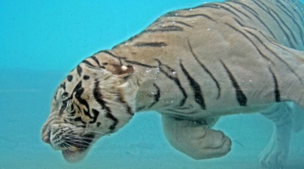tigr009