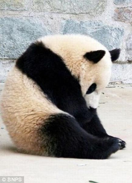 Panda_01