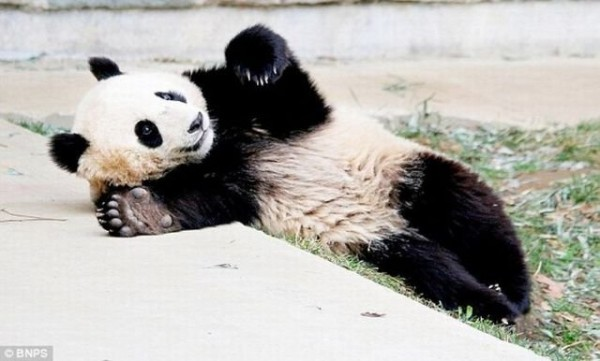 Panda_07