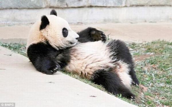 Panda_08