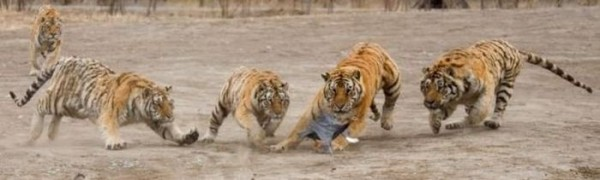 tigr5