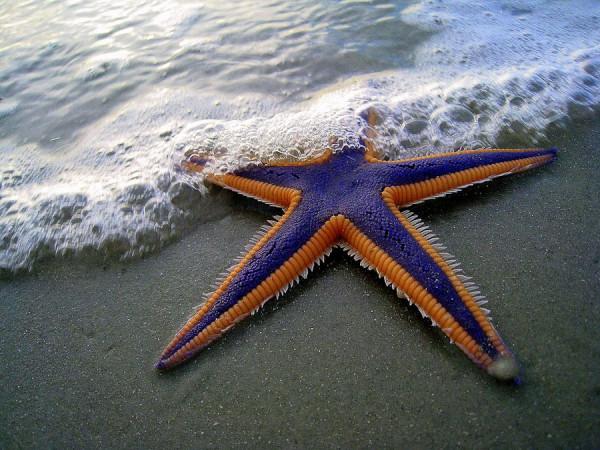 morskie-zvezdy-7