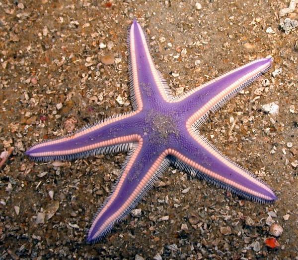 morskie-zvezdy-16