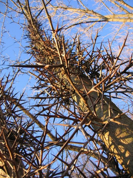 thorny-trees05