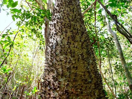 thorny-trees11