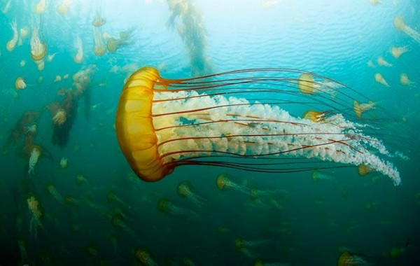 Jellyfish_02