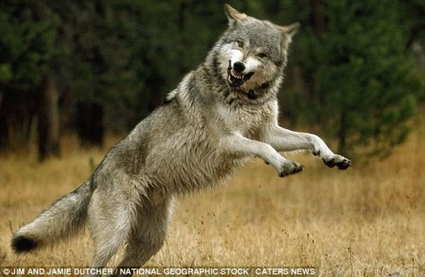 wolf-010