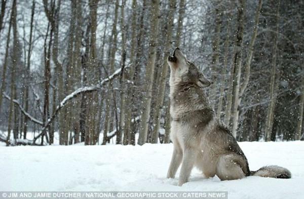 wolf-012