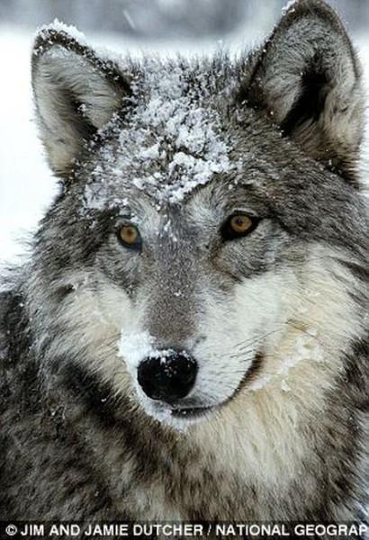 wolf-014