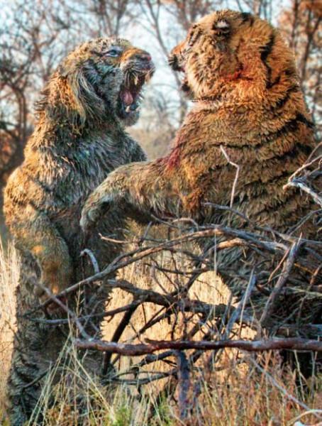 Tigers_fight_01