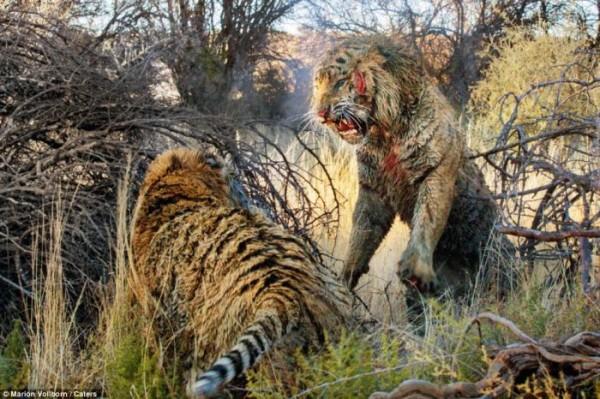 Tigers_fight_02