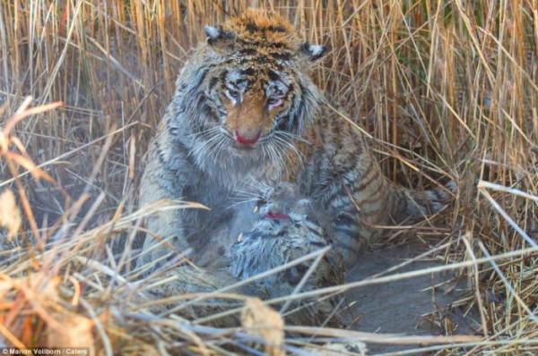 Tigers_fight_04