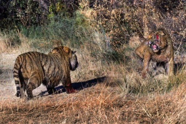Tigers_fight_07