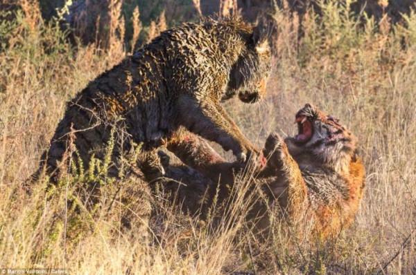 Tigers_fight_09