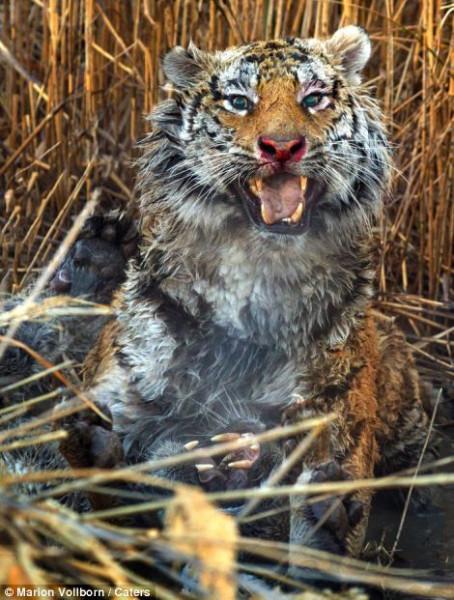 Tigers_fight_10