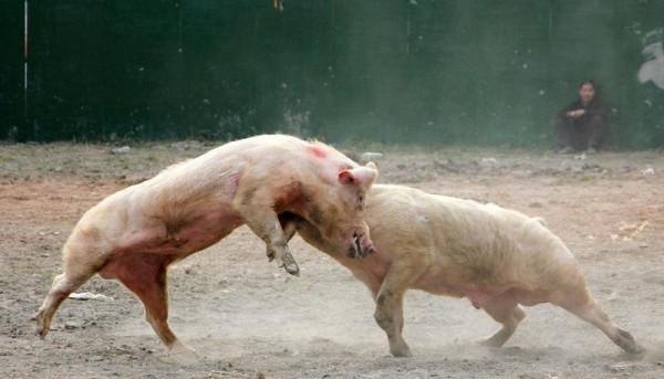 pigs_battle_01