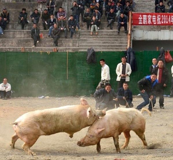 pigs_battle_03