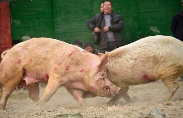 pigs_battle_05