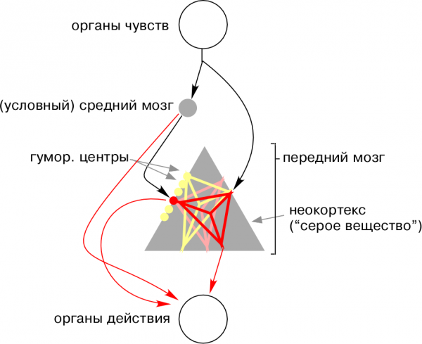 приматологическая схема мозга