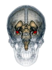 corpus amygdaloideum