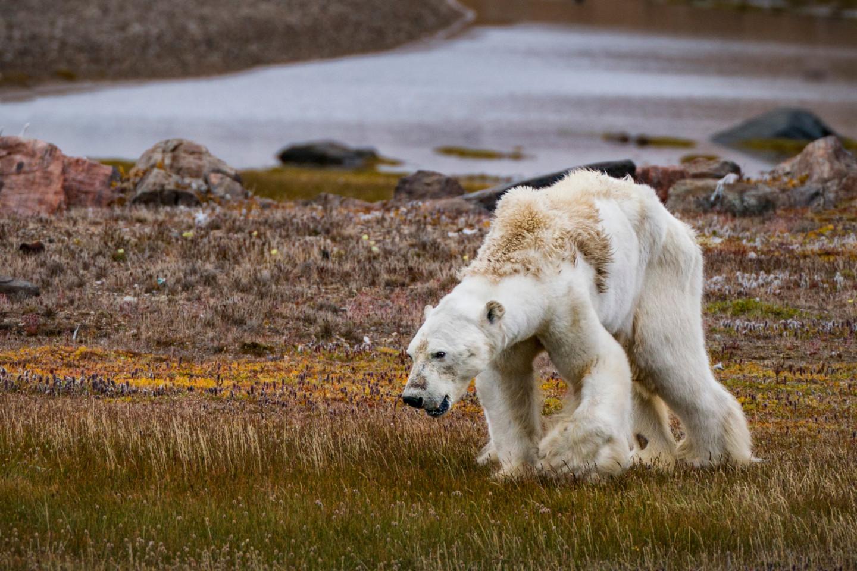 Истощенный полярный медведь, остров Сомерсет© CRISTINA MITTERMEIER
