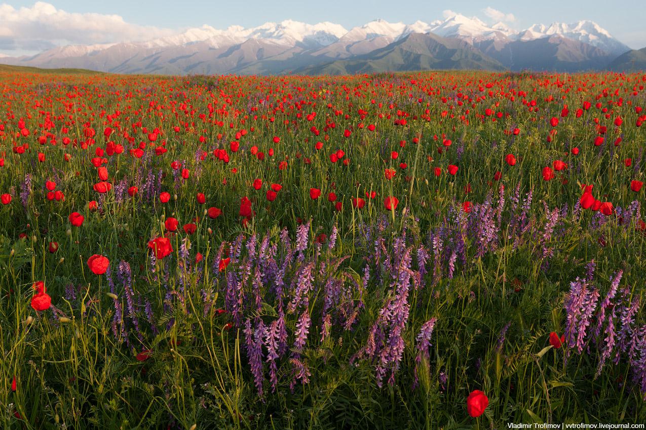 Киргизские маки