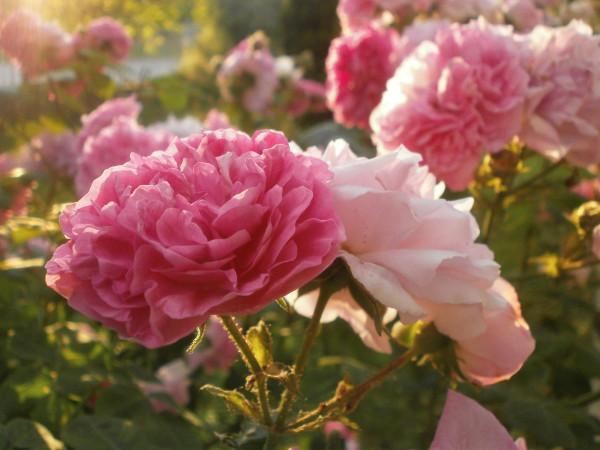 Болгарские розовые розы