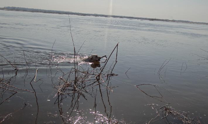 плывущий лабрадор