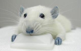 синька, крыса