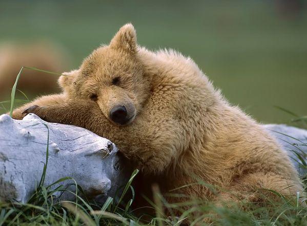 hq-wallpapers_ru_animals_bear.jpg