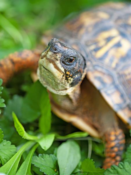 box turtle #1 - 04.28.19_.jpg