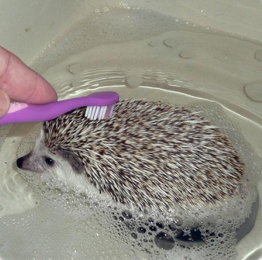 Как моются ежики1